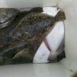 flounder-fishing-virginia-813-small