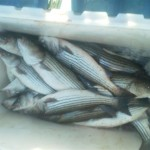 fish box full of rockfish (Small)
